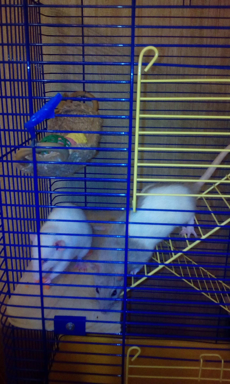 содержание домашних крыс